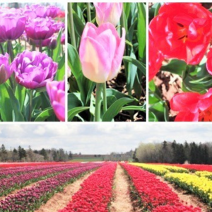 2021 Tulip Sale to End Polio Now